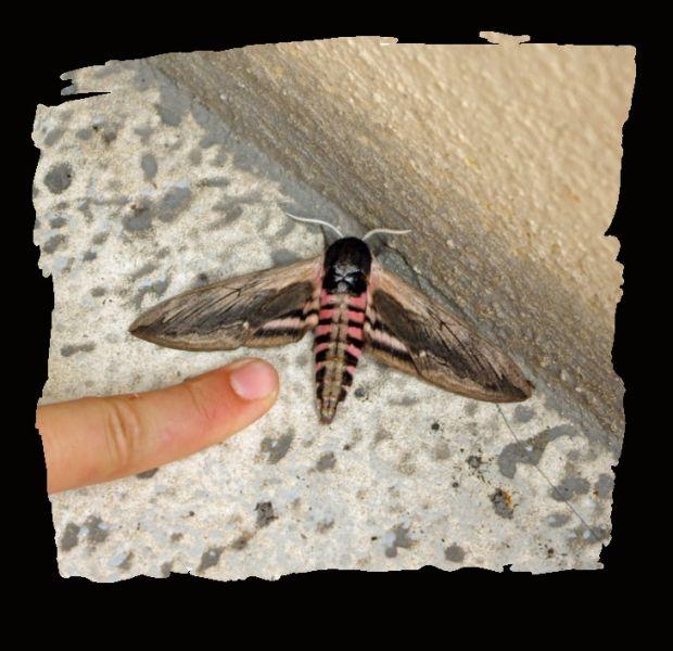 papillonnuit.jpg