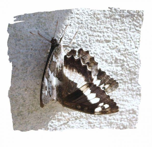 papillonsnb.jpg