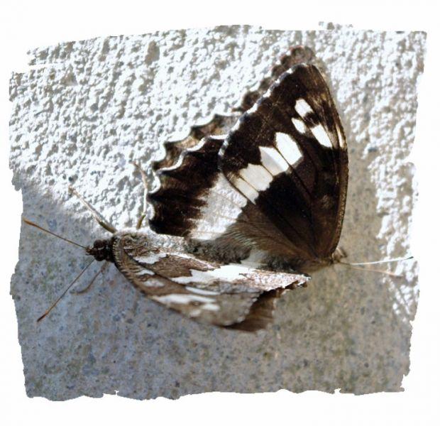 papillonsnb2.jpg