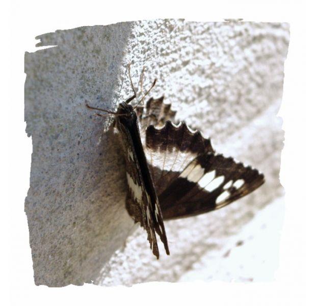 papillonsnb3.jpg
